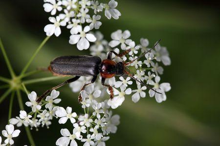 Tanbark borer or violet tanbark beetle (Phymatodes testaceus)