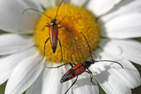 longhorn: The small  flower longhorn beetle Stenurella melanura