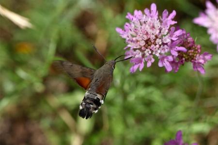 arthropod: A hummingbird hawk-moth (Macroglossum stellatarum) flying and drinking on a flower.