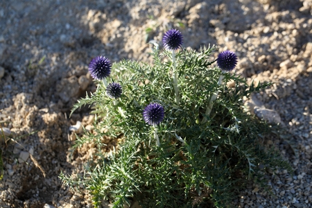 southern europe: Flowers of the southern globe thistle (Cardo pallotta), a wild  thistle in Southern Europe.