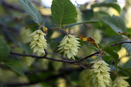 hornbeam: Fruits of the Hop Hornbeam (Ostrya carpinifolia)