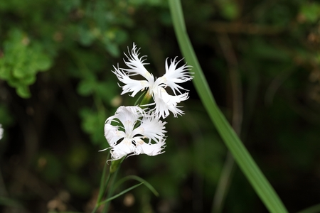 southern europe: Flowers of the fringed pink (Dianthus monspessulanus), a wild pink from Southern Europe.