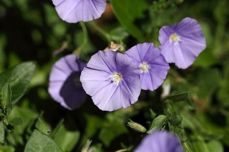 convolvulus: Flowers of a blue rock bindweed (Convolvulus sabatius)