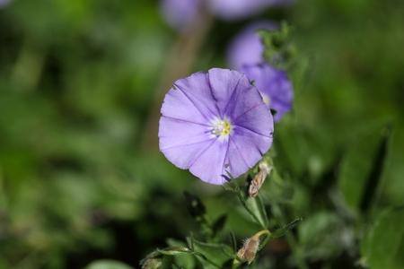 convolvulus: Flower of a blue rock bindweed (Convolvulus sabatius)