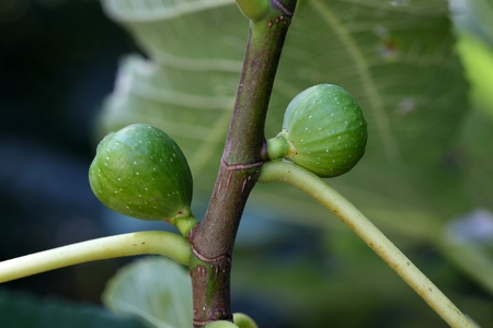 fig tree: Green fruits of a common fig  tree (Ficus carica)
