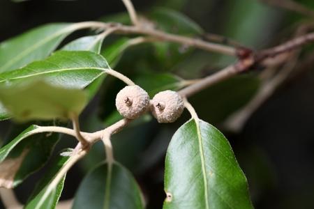 acorns: Acorns of an evergreen oak (Quercus ilex)