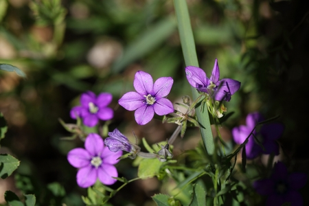 speculum: Flower of European Venus looking glass (Legousia speculum veneris), an ornamental plant from Central and Southern Europe.