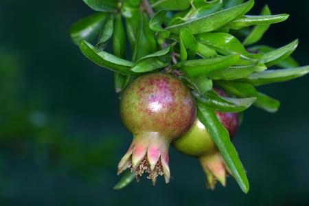 punica granatum: Green pomegranate fruit (Punica granatum) on a tree. Stock Photo