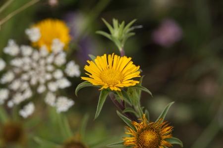 plants species: Fiore di una coperta di spine starwort (Pallenis spinosa).
