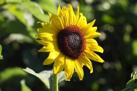 helianthus annuus: Flower of common sunflower (Helianthus annuus) in a field. Stock Photo