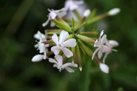 medical plant: Flower of a common soapwort (Saponaria officinalis), an old medical plant that was used as alternative to soap. Stock Photo