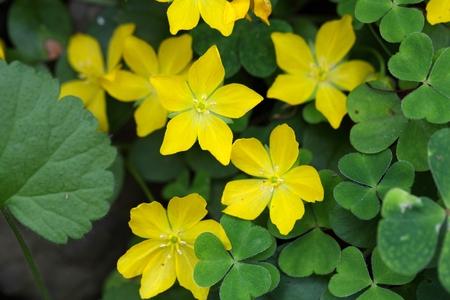 jenny: Flowers of a creeping jenny  (Lysimachia nummularia) Stock Photo
