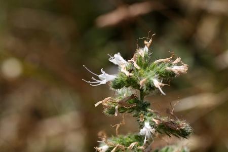 echium: Flowers of a pale burgloss (Echium italicum)