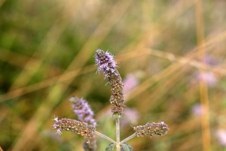 field mint: Flowers of the horse mint (Mentha longifolia)