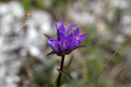 clustered: Flowers of the Clustered Bellflower (Campanula glomerata).