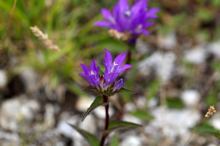 bellflower: Flowers of the Clustered Bellflower (Campanula glomerata).