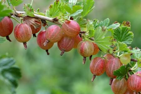 gooseberry bush: Fruits of a gooseberry (Ribes uva-crispa) on a bush. Stock Photo