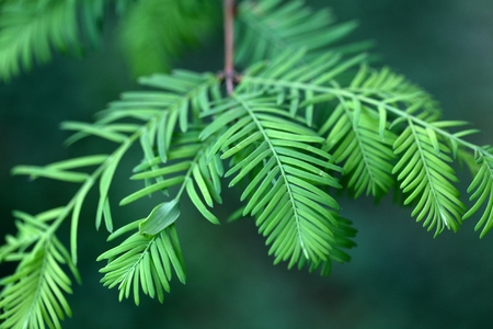 Leaves of a dawn redwood (Metasequoia glyptostroboides) Stock Photo