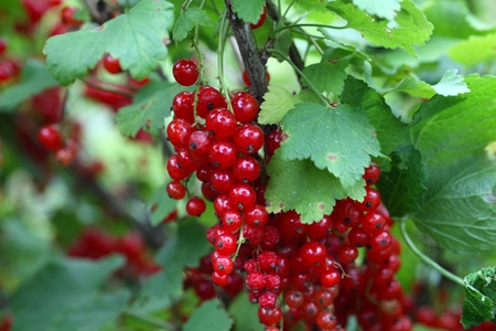 ribes: Berries of a red currant (Ribes rubrum) on a bush.