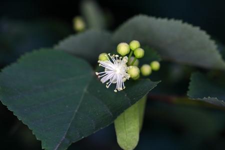 tilia: Flower of a Small leaved lime (Tilia cordata).