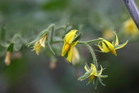 cucumis sativus: Flower of a Cucumber  plant (Cucumis sativus) Stock Photo