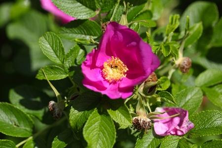 Bloem van de Rugosa Rose (Rosa rugose)