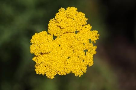 milfoil: Macro photo of fernleaf yarrow flowers (Achillea filipendulina)