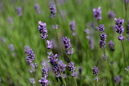 lavandula angustifolia: Lavender flowers (Lavandula angustifolia) in a field.
