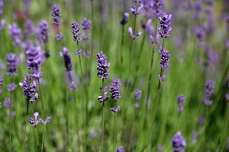 lavender coloured: Lavender flowers (Lavandula angustifolia) in a field.