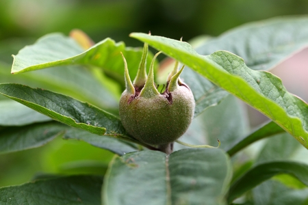 biologic: Fruit of the common medlar (Mespilus germanica) Stock Photo