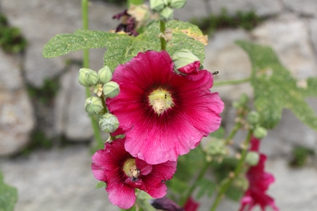 rosemallow: Flower of a rose mallow  (Hibiscus moscheutos) Stock Photo