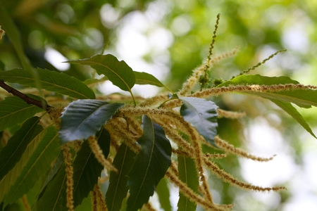 castanea sativa: Flowers of a sweet chestnut tree (Castanea sativa)