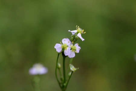 plantain herb: Flower of a European water plantain  (Alisma plantago-aquatica) Stock Photo