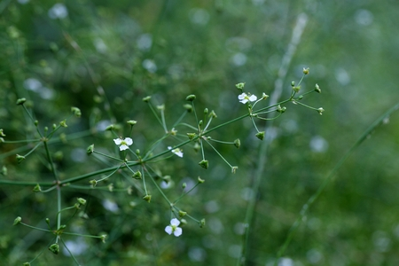 aquatic herb: Flower of a European water plantain  (Alisma plantago-aquatica) Stock Photo