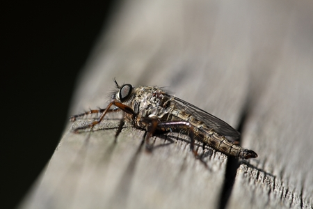 diptera: Kite-tailed Robberfly (Machimus atricapillus) on a wood background.