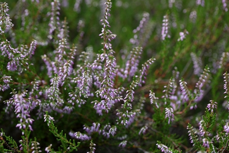 Flowers of the common heather (Calluna vulgaris) Stock Photo
