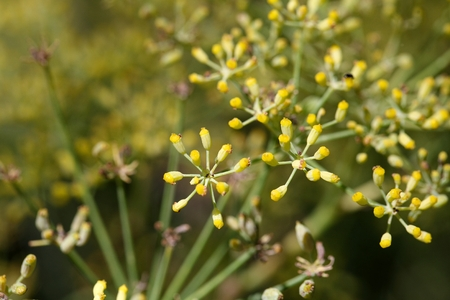 foeniculum: Seed on a Fennel plant (Foeniculum vulgare) Stock Photo