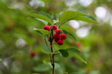biologic: Red berries and leaves on a Cotoneaster bush.