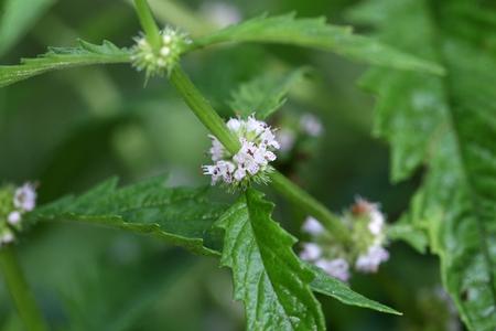 Bloemen van een gypsywort plant (wolfspoot) Stockfoto