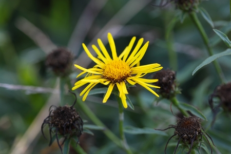 Flower of an Inula germanica, a wild plant from Europe and Asia.