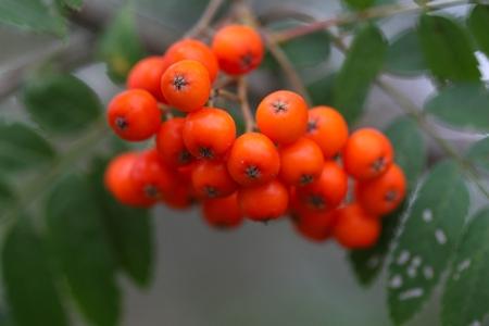 sorbus aucuparia: Berries of a mountain ash (Sorbus aucuparia)