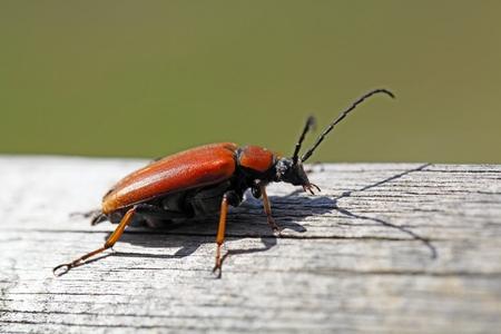 cerambycidae: A female Red-brown Longhorn Beetle (Stictoleptura rubra)
