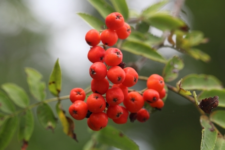 aucuparia: Berries of a mountain ash (Sorbus aucuparia)