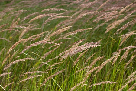 inflorescence: Inflorescence of wood small-reed (Calamagrostis epigejos) on a meadow. Stock Photo