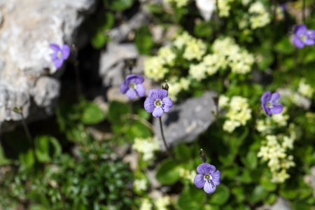speedwell: Flower of a leafless stemmed speedwell (Veronica aphylla)