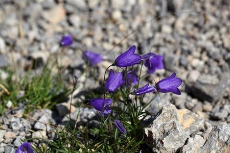 herbaceous: An Earleaf bellflower (Campanula cochleariifolia) in the Bavarian Alps.