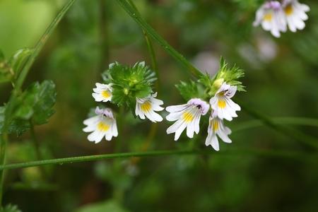 Bloemen van de Eyebright Euphrasia rostkoviana, in de Beierse Alpen. Stockfoto