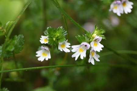 herbaceous: Flowers of the Eyebright Euphrasia rostkoviana, in the Bavarian Alps. Stock Photo