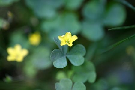 일반적인 노란색 woodsorrel (Oxalis stricta)의 꽃