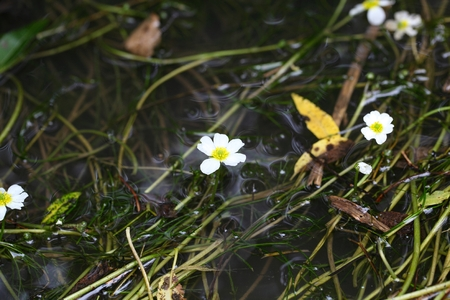 hydrophyte: Flowering plant of the river water-crowfoot (Ranunculus fluitans)